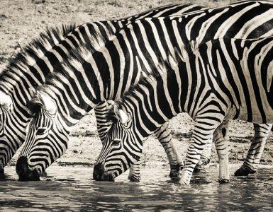 Best Gifts For Zebra Lovers Ideas
