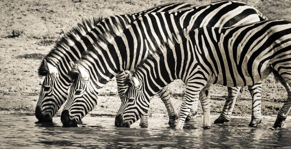 Gifts For Zebra Lovers