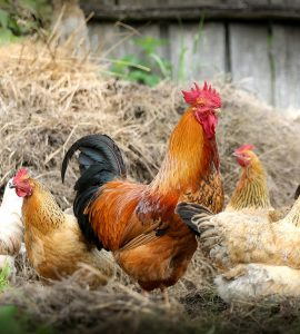Gifts For Chicken Owners Ideas